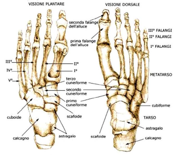 dolore ossa piede anatomia